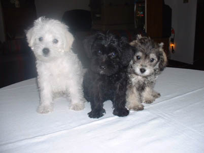 Countryside Schnoodles The Best Of Schnauzers Poodles
